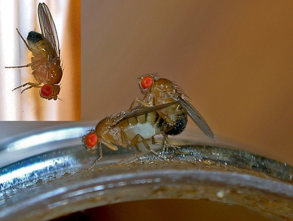 """Fruit flies"" by TheAlphaWolf - Own work. Licensed under CC BY 3.0 via Wikimedia Commons - http://commons.wikimedia.org/wiki/File:Fruit_flies.jpg#/media/File:Fruit_flies.jpg"
